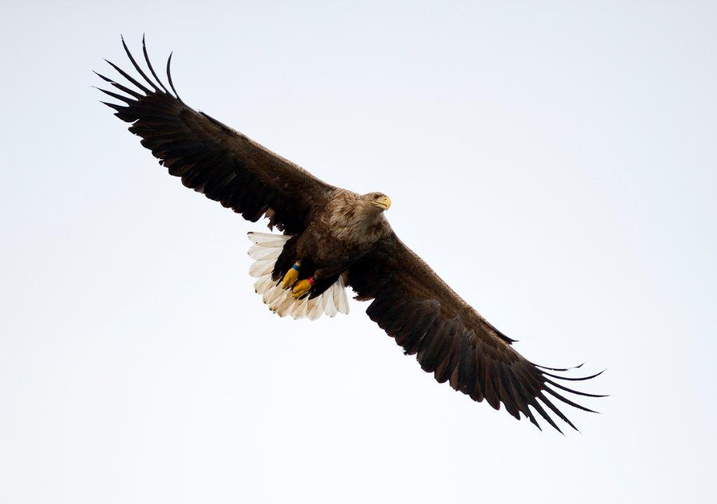 Norway's densest stock of Sea Eagles